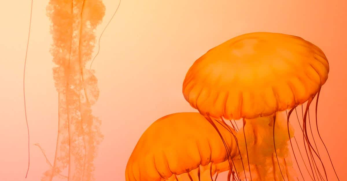 A group of jellyfish